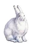 Arctic Hare (Lepus Arcticus), Mammals Posters by  Encyclopaedia Britannica
