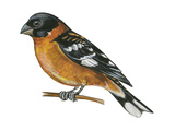 Black-Headed Grosbeak (Pheucticus Melanocephalus), Birds Stretched Canvas Print by  Encyclopaedia Britannica