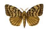 Gypsy Moth (Porthetria Dispar), Insects Pôsteres por  Encyclopaedia Britannica