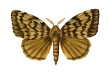 Gypsy Moth (Porthetria Dispar), Insects Poster by  Encyclopaedia Britannica