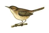 House Wren (Troglodytes Aedon), Birds Posters par  Encyclopaedia Britannica