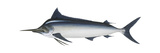 Black Marlin (Istiompax Indica), Fishes Print by  Encyclopaedia Britannica