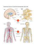 Anatomical Sources of Neural and Hematopoietic Stem Cells. Biology Prints