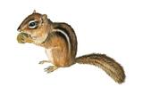 Eastern Chipmunk (Tamias Striatus), Mammals Posters by  Encyclopaedia Britannica