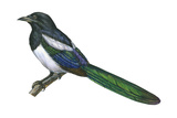 Black-Billed Magpie (Pica Pica), Birds Prints by  Encyclopaedia Britannica