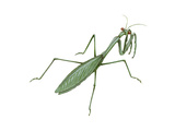 European Mantis (Mantis Religiosa), Insects Prints by  Encyclopaedia Britannica