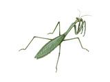 European Mantis (Mantis Religiosa), Insects Prints