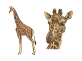 Reticulated Giraffe (Giraffa Reticulata), Mammals Posters by  Encyclopaedia Britannica