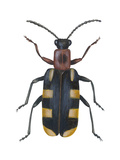 Asparagus Beetle (Criocerus Asparagi), Insects Posters