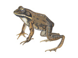 Wood Frog (Rana Sylvatica), Amphibians Prints by  Encyclopaedia Britannica