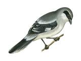 Loggerhead Shrike (Lanius Ludovicianus), Birds Posters par  Encyclopaedia Britannica