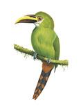 Emerald Toucanet (Aulacorhynchus Prasinus), Birds Posters by  Encyclopaedia Britannica