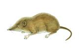 Pigmy Shrew (Microsorex Hoyi), Mammals Posters by  Encyclopaedia Britannica