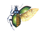 Ground Beetle (Carabidae), Insects Posters