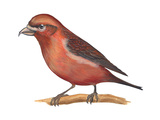 Red Crossbill (Loxia Curvirostra), Birds Poster par  Encyclopaedia Britannica