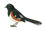 Rufous-Sided Towhee (Pipilo Erythrophthalmus), Birds Posters