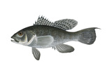Black Sea Bass (Centropristis Striata), Fishes Posters by  Encyclopaedia Britannica