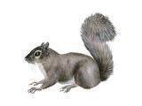 Eastern Gray Squirrel (Sciurus Carolinensis), Mammals Prints