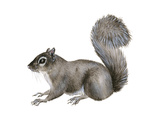 Eastern Gray Squirrel (Sciurus Carolinensis), Mammals Prints by  Encyclopaedia Britannica