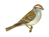 Chipping Sparrow (Spizella Passerina), Birds Stretched Canvas Print by  Encyclopaedia Britannica