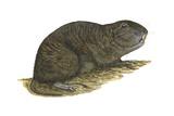Tuco-Tuco (Ctenomys), Rodent, Mammals Print