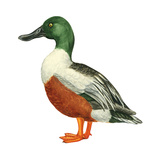 Northern Shoveler (Anas Clypeata), Duck, Birds Stretched Canvas Print by  Encyclopaedia Britannica