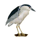 Black-Crowned Night Heron (Nycticorax Nycticorax), Birds Photo