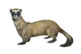 Black-Footed Ferret (Mustela Nigripes), Weasel, Mammals Photo