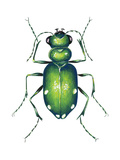 Tiger Beetle Adult (Cicindelidae), Insects Prints