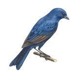 Indigo Bunting (Passerina Cyanea), Birds Reproduction sur métal par  Encyclopaedia Britannica
