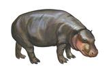 Pigmy Hippopotamus (Hippopotamus Liberiensis), Mammals Poster by  Encyclopaedia Britannica