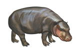 Pigmy Hippopotamus (Hippopotamus Liberiensis), Mammals Poster