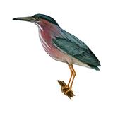Green Heron (Butorides Virescens), Birds Posters by  Encyclopaedia Britannica
