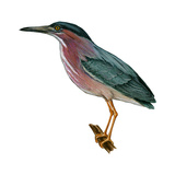 Green Heron (Butorides Virescens), Birds Posters