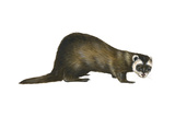 European Polecat (Mustela Putorius), Weasel, Mammals Print