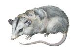 Virginia Opossum (Didelphis Virginiana), Marsupial, Mammals Posters af Encyclopaedia Britannica