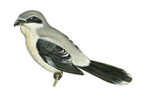 Northern Shrike (Lanius Excubitor), Birds Posters par  Encyclopaedia Britannica