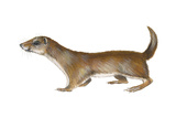 Common or Least Weasel (Mustela Nivalis), Mammals Posters by  Encyclopaedia Britannica