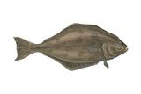 Halibut (Hippoglossus Hippoglossus), Fishes Photo by  Encyclopaedia Britannica