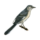 Northern Mockingbird (Mimus Polyglottos), Birds Prints