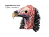 Head of Lappet-Faced Vulture (Torgos Tracheliotus), Birds Reproduction sur métal par  Encyclopaedia Britannica