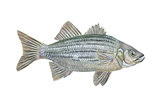 White Bass (Roccus Chrysops), Fishes Print by  Encyclopaedia Britannica