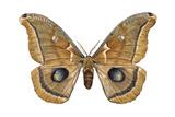 Polyphemus Moth (Telea Polyphemus), Insects Prints by  Encyclopaedia Britannica