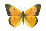 Clouded Sulfur Butterfly (Colias Philodice), Insects Posters by  Encyclopaedia Britannica
