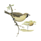 Social Weaver (Philetairus Socius), Birds Prints by  Encyclopaedia Britannica