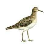 Pectoral Sandpiper (Calidris Melanotos), Birds Photographie