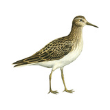 Pectoral Sandpiper (Calidris Melanotos), Birds Photo by  Encyclopaedia Britannica