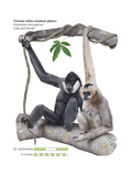 Male and Female Chinese White-Cheeked Gibbon (Hylobates Leucogenys), Ape, Mammals Posters