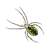 Golden Garden Spider (Argiope Aurantia), Arachnids Posters