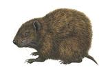 Bahaman Hutia (Geocapromys Ingrahami), Mammals Posters by  Encyclopaedia Britannica